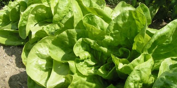 Salata verde - beneficii pentru sanatate