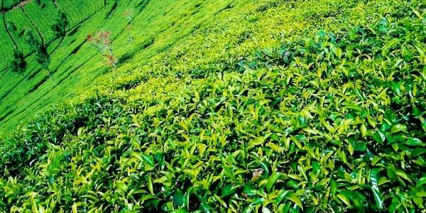 Ceaiul verde - beneficii pentru sanatate, consum