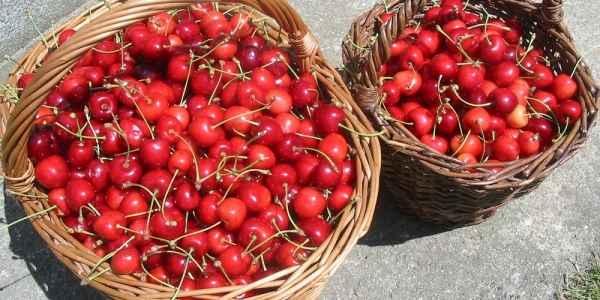 Ciresele - cele mai importante beneficii pentru sanatate